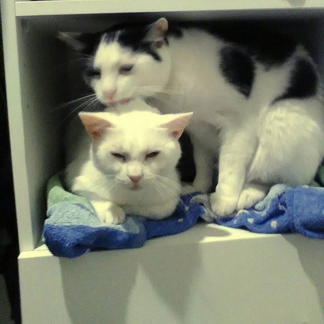 These cats have an entire house to sit in but decide they both need to squeeze into my wardrobe!  #zeusandziggy #crazycats #spoiledcats #catstagram #catsofmelbourne #catsofinstagram #catprotectionsociety #rescuecats #adoptdontshop