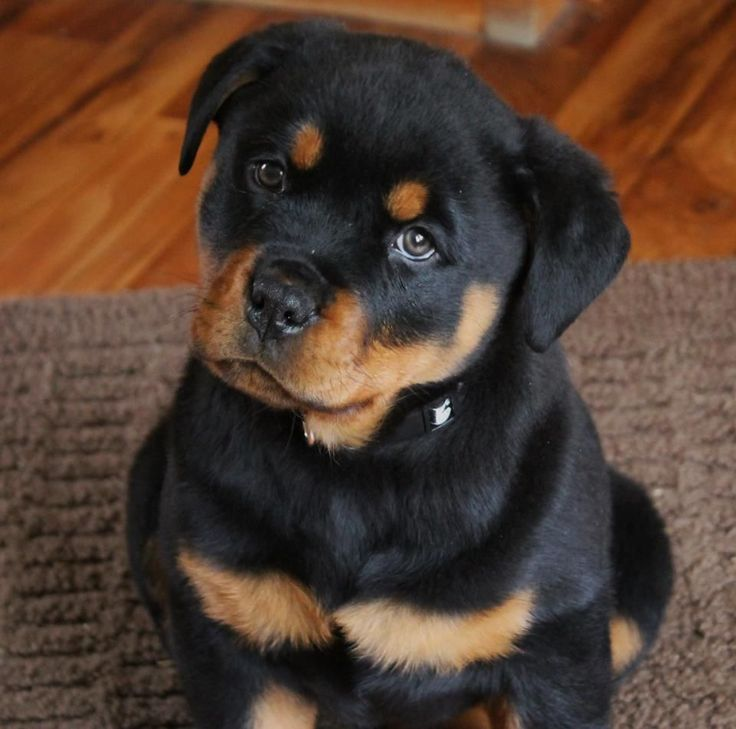 German Rottweiler is a strong and aggressive dog but it's also looks cute when puppy. Description from colpets.com. I searched for this on bing.com/images