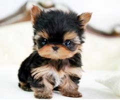 Omg!: Little Puppies, Teacups Yorkie, So Cute, Pet, Teacups Puppies, Cutest Puppies, Yorkshire Terriers, Tiny Puppies, Adorable Animal