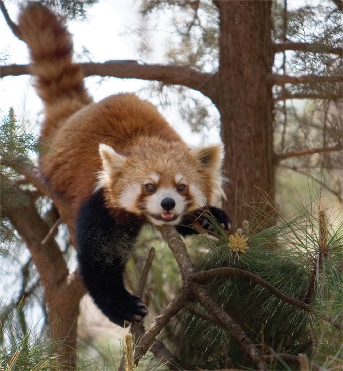 cute baby red pandas - photo #25