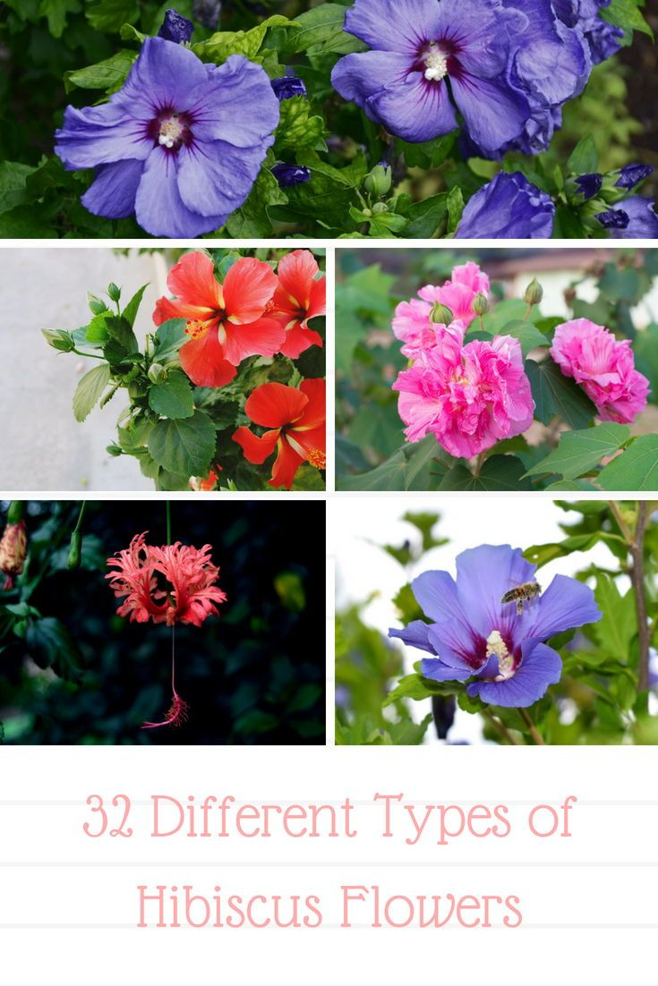 32 Different Types Of Hibiscus Flowers Hibiscus Hibiscus Flowers Growing Hibiscus