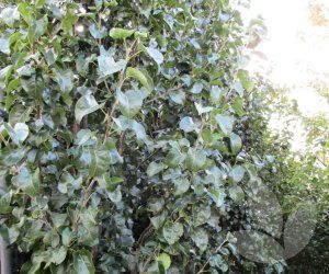 Pyrus calleryana 'Capital' This tree has a narrow growth habit suitable for screening. Shiny green leaves hang vertically from branches with an attractive curl. Leaves turn a reddish-purple in autumn and lovely white flowers bloom during Spring months. Great for driveways and narrow gardens