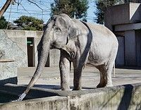 慰安婦問題について、いろんな報道: ゾウ「はな子」死ぬ=国内最高齢の69歳-東京。象の「はな子」はホントに不幸なのか。飼育の日 なぜ…引...