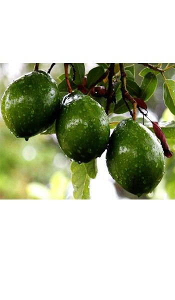 Lila Avocado tree for sale