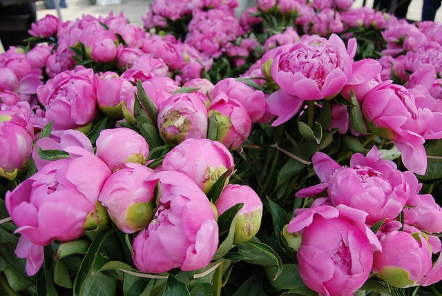 Just like the peony bush in my yard! : Outdoor Ideas, Boxes Gardens, Garden Ideas, Peony Bushes, Gardening Ideas, Beautiful Flowers, Beautiful Yards, Peonies
