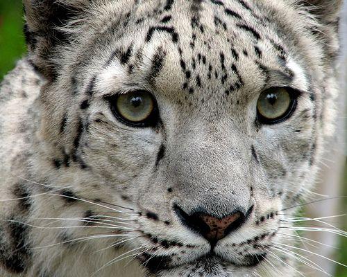 Snow Leopard Facts For Kids – Snow Leopard Habitat & Diet