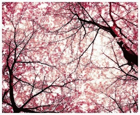 Cherry blossom sky.