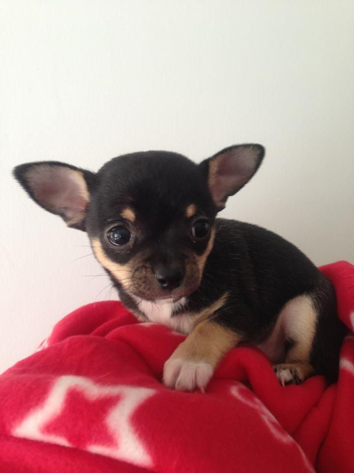 This Is Mouse One Of Our Babies Tiny Chihuahua Puppy Smooth Coat