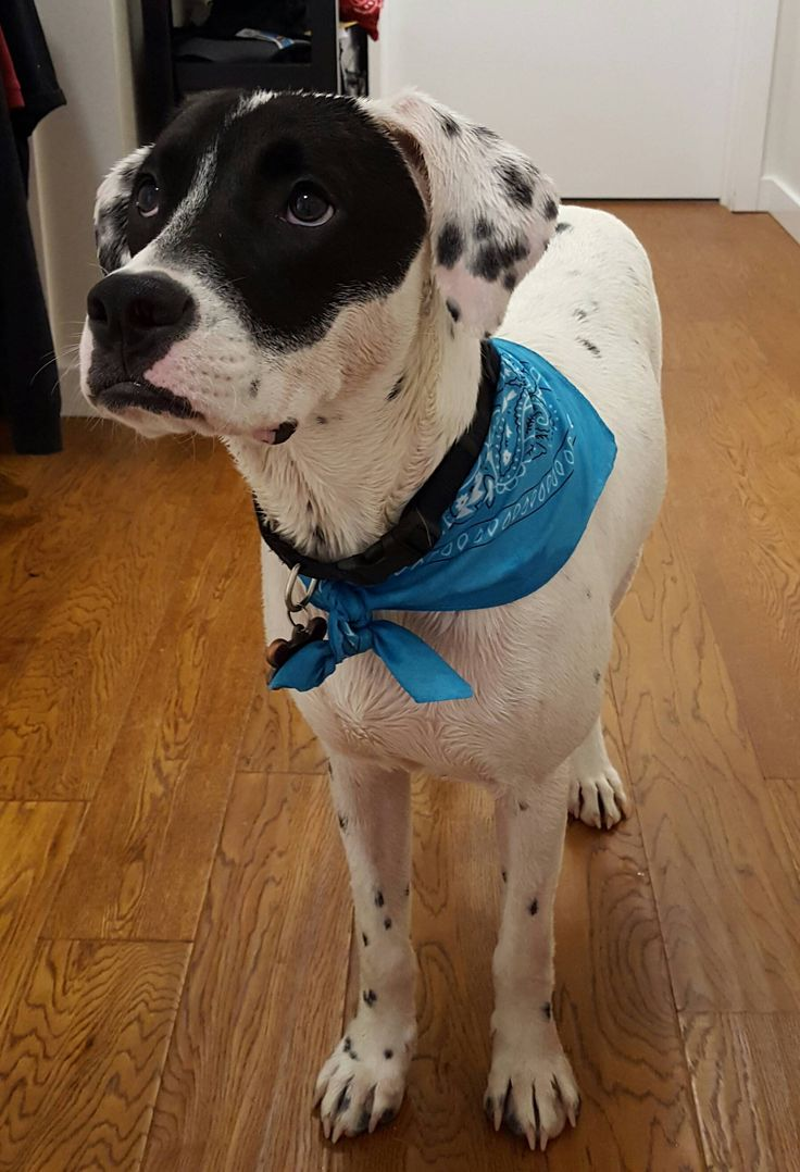 My dalmatian lab pit mix after his bath http://ift.tt/29yy3Mf …