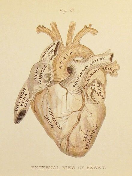 Circa 1880 - Three Pages of the Heart - Figures 32 through 36 - Antique Anatomy…