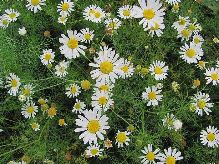 Jednoletá až vytrvalá bylina dosahující výšky 10-60 cm.