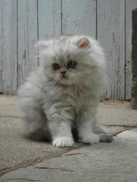 Gray and white angora cat