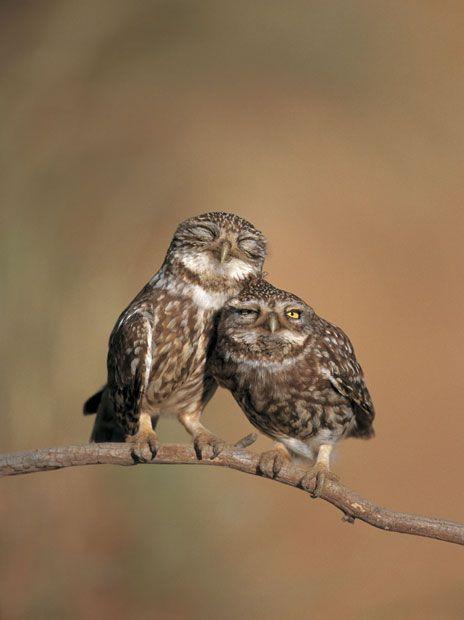 Little owl (Athene noctua) pair perched, courtship behaviour, Spain Picture: Nature Picture Library / Rex Features