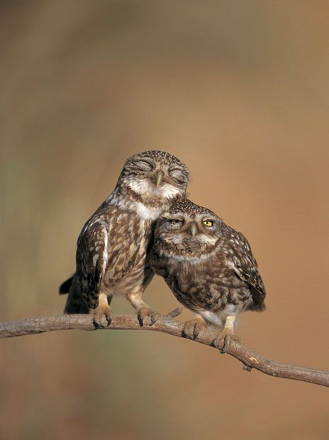 Little owl (Athene noctua) pair perched, courtship behaviour, Spain Picture: Nature Picture Library / Rex Features