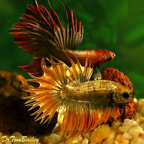 Copper Crowntail Bettas for sale | Fish and Aquascaping ...  Copper Crowntai...