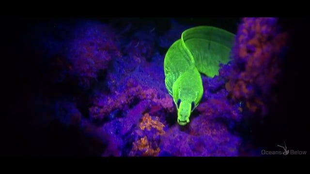 HD Footage filmed with Super Blue lights and yellow barriers. This movie won 2nd place in the World Shootout 2014 and Special ARI Prize in the underwater film festival Silently. If you want to learn how to shoot this, we offer Fluo video courses. Please contact elisabeth@oceansbelow.net