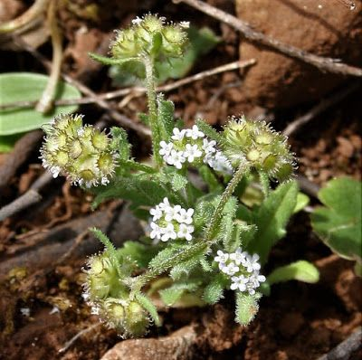 Valerianella multidentata
