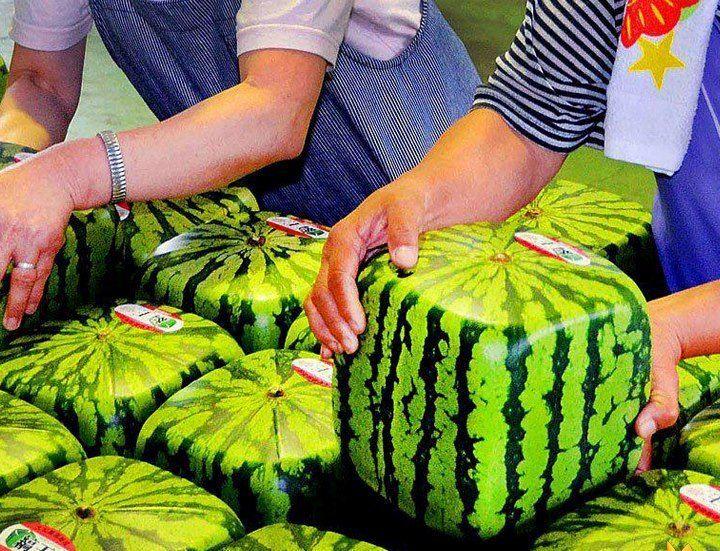 melancia-quadrada ~~ As Melancias Quadradas são importadas do Japão, onde crescem em caixas de vidro temperado que forçam as frutas a levar sua forma original, com exatamente o mesmo interior que uma melancia regular.  Mas a questão de como é feito o formato quadrado, é relevante, já que obviamente não é a forma que as melancias naturalmente apresentam. Para alcançar o formato único, os agricultores cultivam a fruta em embalagens plásticas.