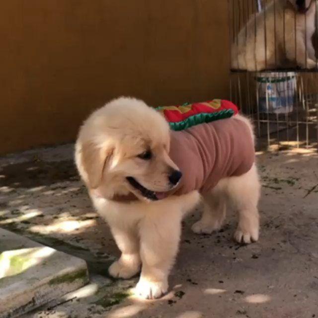 Who Wants This Hotdog Gffkennel Goldenretriever