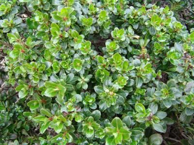 Escallonia 39 newport dwarf 39 slow growing spreading for Small slow growing evergreen trees