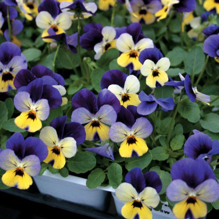 578 melhores imagens de amor perfeito no pinterest for Viola cornuta inverno