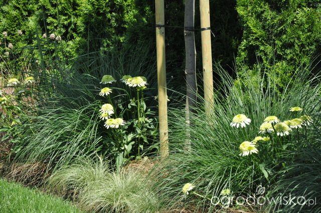 Lawendowy zawrót głowy - strona 1311 - Forum ogrodnicze - Ogrodowisko