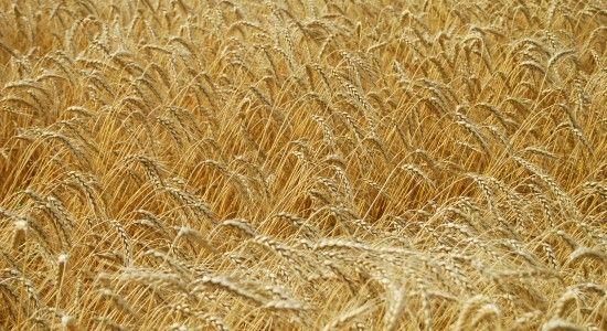 Зернові культури у старовинній українській кухні