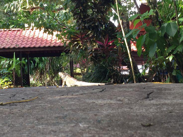 #costarica #tortuguero #nacionalpark #lizard  Costa Rica Parque Nacional Tortuguero  Lizard Iguana Amarilla
