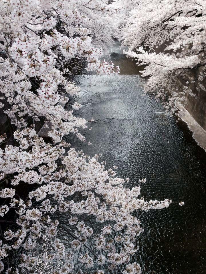 板橋の下を流れる石神井川。桜のトンネルだ。