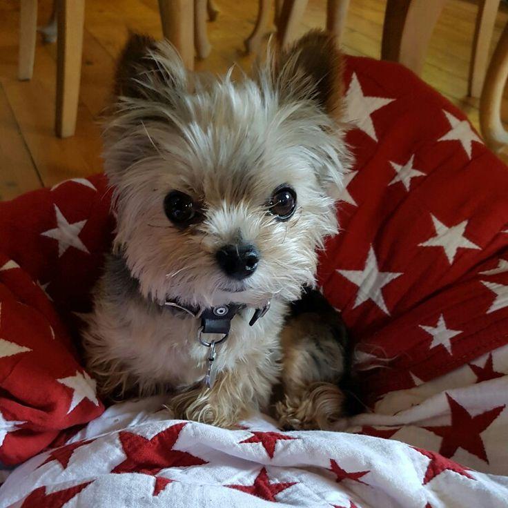 17 Best Images About Pet Friendly Flooring On Pinterest: 17 Best Ideas About Teacup Dog Breeds On Pinterest