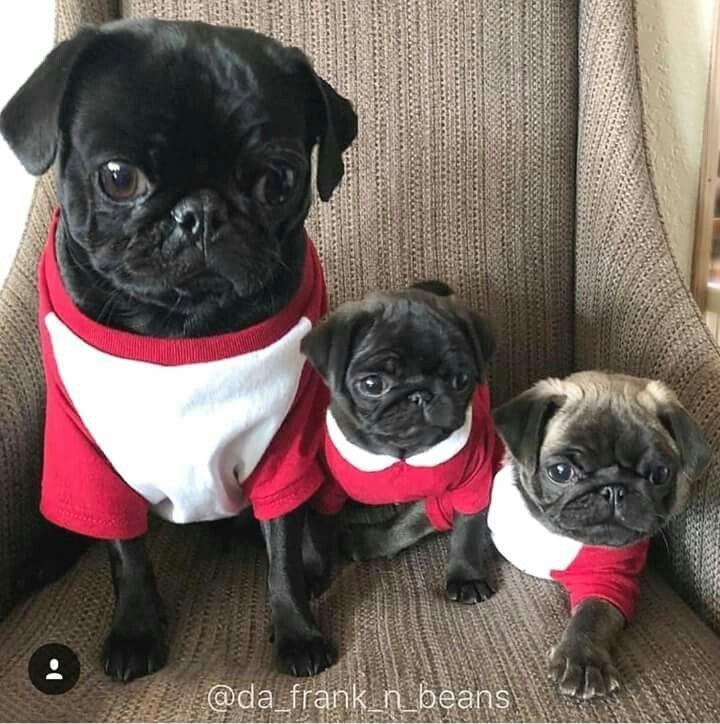 Pug Family Pugpuppies Baby Pugs Cute Pugs Cute Pug Puppies