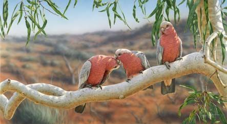 greg postle.....tickled pink.....pink and grey galahs