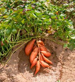 comment faire pousser les patates douces