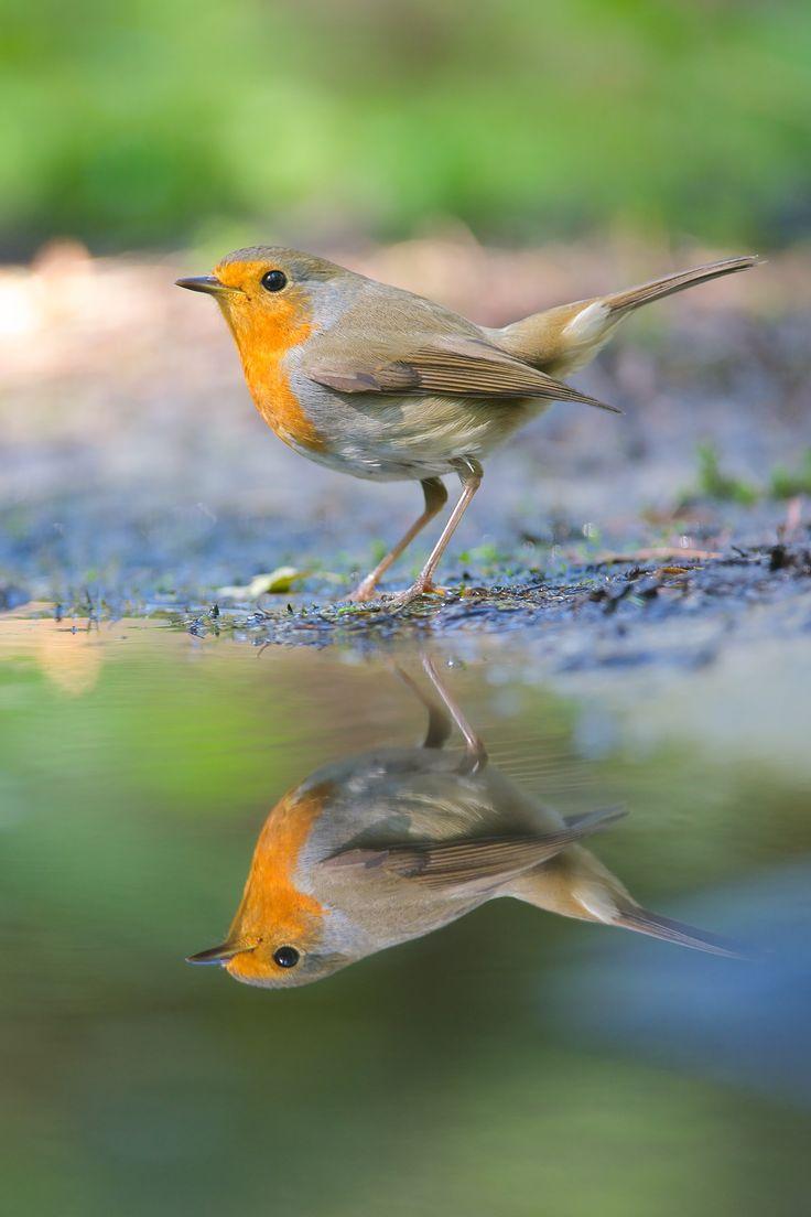 Robin reflection by Corné van Oosterhout on 500px