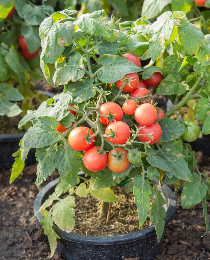 tip for sweeter tomato plant