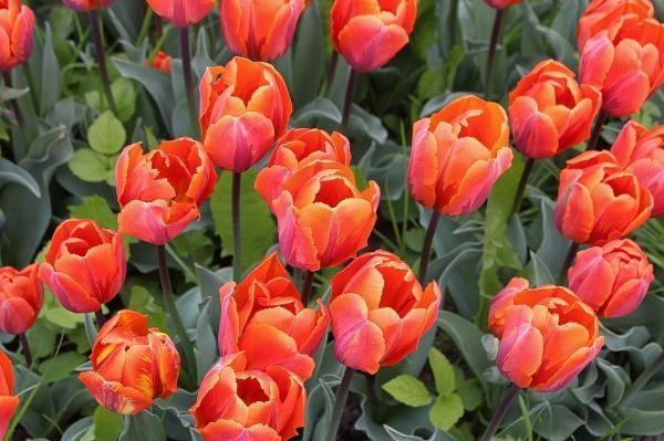 Cómo cuidar tulipanes. Los tulipanes florecen en primavera llevando una profusión de color a tu jardín. Con el cuidado adecuado, puedes disfrutar de estas magníficas flores de primavera año tras año. Los Tulipanes proporcio...