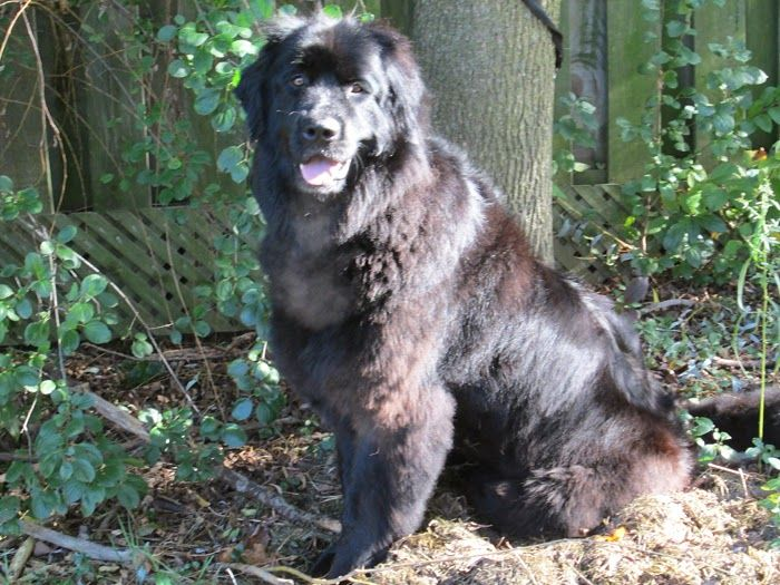 Newfoundland Dog Rescue in Ontario, Canada. Newfs for adoption, find good breeders and more.