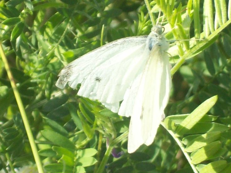 A White Moth in Belleville Ont. off a Trail behind Whitney Place by the Bay