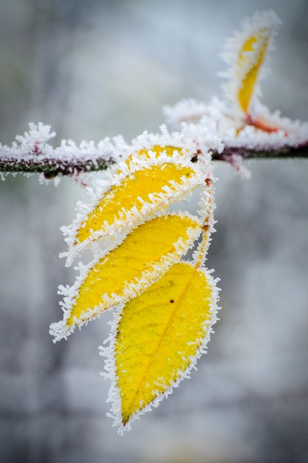 The few remaining autumn leaves look beautiful when frosted.