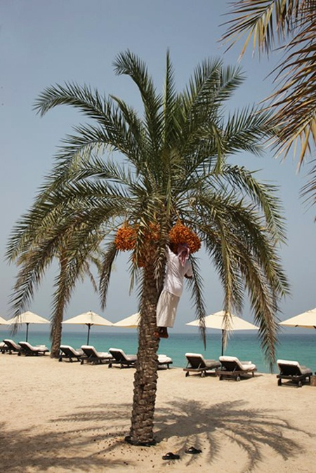 Date Harvest at Six Senses Zighy Bay, Oman.