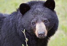 9-Jun-2013 13:46 - BEER WANDELT DOOR STAD. Een zwarte beer maakte zaterdag een wandeling door de Amerikaanse stad Orlando. Vervolgens klom het dier in een boom om een dutje te doen.