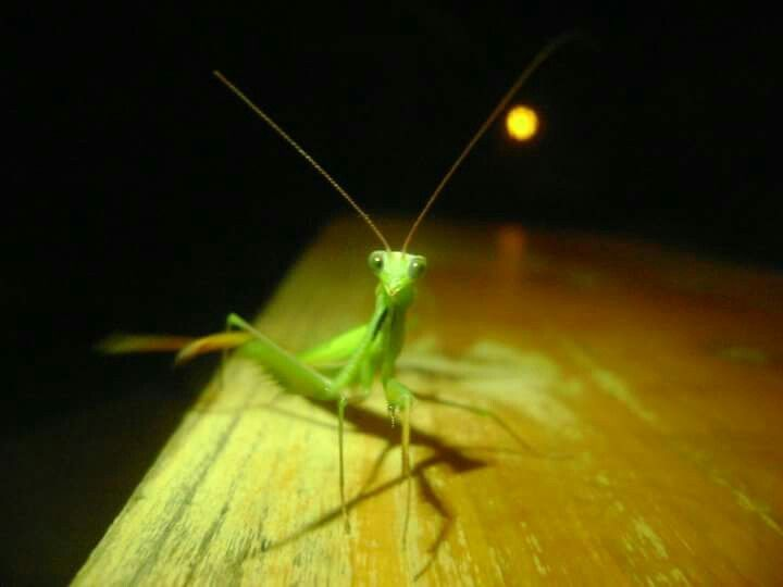 French mantis