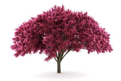 Deep pink Crepe Myrtle. Deciduous.