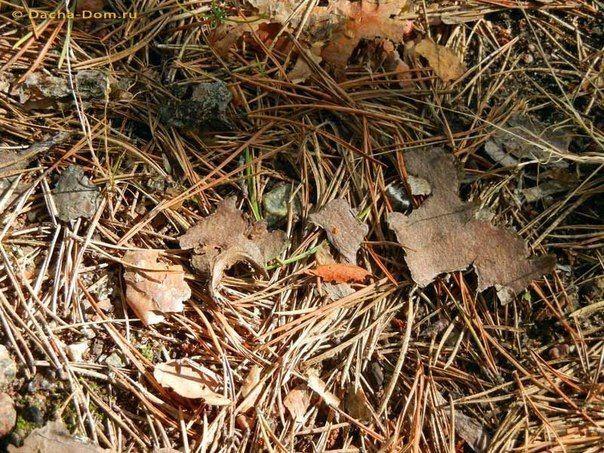 Сосновые иголки в борьбе с вредителями. Сосновые иголки можно эффективно…