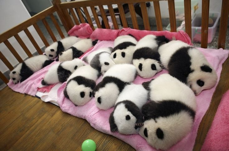 This photo is from a nursery in China that is teeming with baby pandas