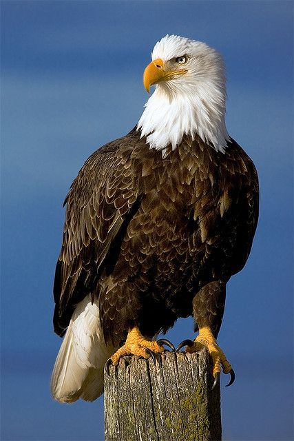 Estados Unidos: Águia-careca (Haliaeetus leucocephalus)