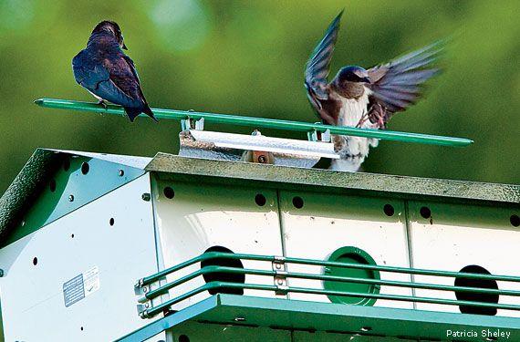 307 Best Images About Purple Martins On Pinterest Purple