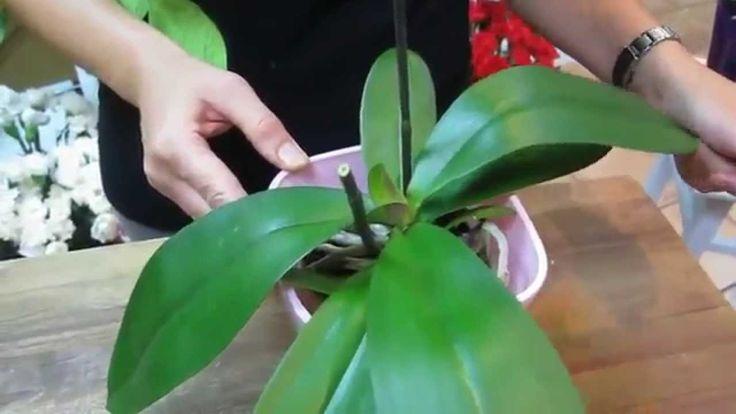 Cómo cuidar orquideas phalaenopsis