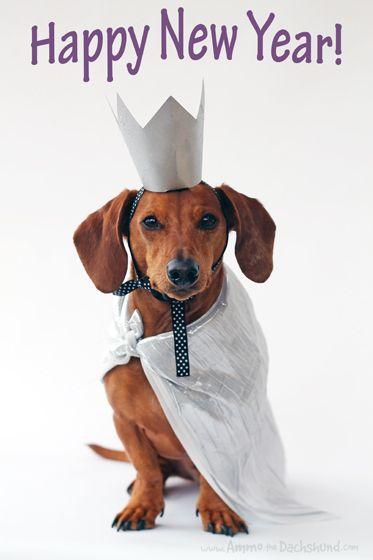 Happy New Year // Ammo the Dachshund #Dachshunds #DoxieDarlin' #Doxie