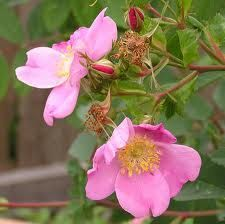 Wild Rose...Mmm...1/2oz Natural Wild Rose or Tea Rose Perfume Oil Rose by Lotions, $8.95